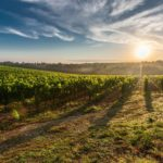 Nueva normativa para autorizar nuevas plantaciones de viñedo o replantear las existentes