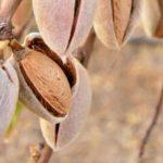 La producción de almendra en Castilla-La Mancha desciende casi un 37% este año