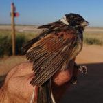 La sequía marca la campaña de anillamiento de aves palustres en La Mancha Húmeda