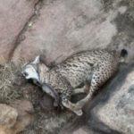 Ocho ejemplares de lince ibérico y cuatro cachorros han muerto este año en Castilla-La Mancha