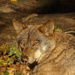 """Los Montes de Toledo, un área óptima para conservar la """"emblemática"""" especie del lobo ibérico"""