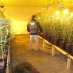 Detenidos cuatro hombres tras incautarles más de 2.600 plantas de marihuana en Menasalbas