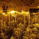 Desmantelan tres laboratorios clandestinos con 3.000 plantas de marihuana en Yuncler, Bargas y Olías del Rey