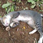 Incluyen una partida de 50.000 euros para el control de colonias felinas en los presupuestos de Toledo
