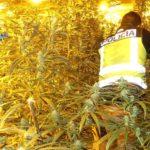 Toledo podría llenar un campo de fútbol de marihuana con las plantas incautadas en 2019