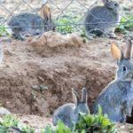 Cien municipios de Toledo, incluidos en la declaración de Comarca de Emergencia Cinegética por daños de los conejos