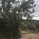 Olinexo, nueva unión comercial entre Al Alma del Olivo y la Agropecuaria Ecológica Sierra de Alcaraz