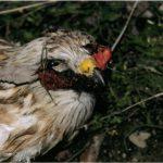 La fauna protegida de Toledo, amenazada por envenenamientos
