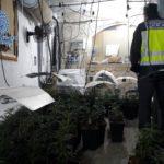 Desmantelan un cultivo de 230 plantas de marihuana oculto en la azotea de una vivienda en Velada
