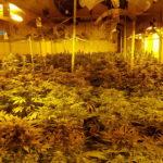 Detenido un hombre que vivía en la nave en la que cuidaba un cultivo de 1.300 plantas de marihuana