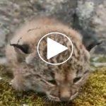 Los agentes medioambientales rescatan una cría de lince ibérico en los Montes de Toledo