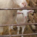 """""""El ganadero está fulminado"""": los sectores del ovino y caprino claman por el desplome de las ventas"""