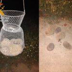 Rescatan a cinco erizos, una especie amenazada, e investigan a las personas que los transportaban