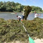 Talavera se moja para limpiar de algas el río Tajo ante la inacción de la CHT