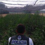 Incautan 2.900 plantas de marihuana en la comarca de Talavera tras detener a seis personas