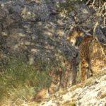 La reintroducción del lince sigue asentándose: 19 camadas y 60 cachorros en los Montes de Toledo