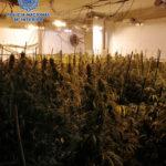 Desmantelan un cultivo de más de 700 plantas de marihuana en Olías del Rey gracias a la colaboración ciudadana