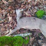 Denuncian la caza ilegal de una corza en una montería en Los Navalucillos