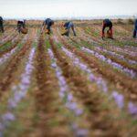 """La cosecha del Azafrán de La Mancha finaliza con más de 450 kilos de una calidad """"excepcional"""""""