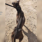 Investigan a un hombre de Yuncos que dejó morir a su perro de hambre y sed
