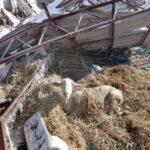 La nieve provoca el derrumbamiento de una nave ganadera en Villaseca de la Sagra con 400 ovejas en su interior