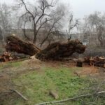 La hecatombe vegetal causada por Filomena en Toledo debe dar paso al Plan de Arbolado Municipal