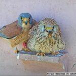 El Parque Nacional de Cabañeros emitirá en directo la temporada de cría del cernícalo primilla y la lechuza común
