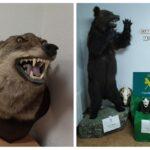 Incautan un oso pardo y una cabeza de lobo ibérico disecados en el domicilio de un vecino de Burujón