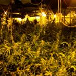 Cinco detenidos tras desmantelarse dos cultivos interiores de marihuana en Santa Olalla con casi 3.000 plantas