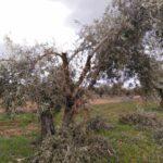 Asaja Toledo estima en 172 millones las pérdidas provocadas por 'Filomena' en el olivar de la provincia
