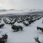Toledo, la provincia con más hectáreas de cultivo dañadas por las nevadas de Filomena en Castilla-La Mancha