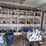 Desarticulada una organización criminal dedicada al tráfico de drogas y a la realización de peleas ilegales de gallos