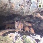 VÍDEO | Nuevos cachorros de lince ibérico en los Montes de Toledo con la camada de 'Luna'