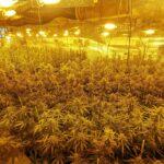 Desmantelados cuatro cultivos de marihuana con 2.454 plantas en Sonseca, Layos y Nambroca