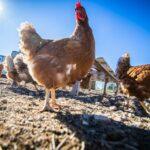 En libertad y alimentadas con semillas naturales, así viven las gallinas de la explotación avícola Huevos Camperos JJ