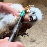 Nueva acción por la recuperación del cernícalo primilla en la provincia con la suelta de 15 polluelos en Ajofrín