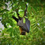 ¿Sabías que los murciélagos son clave para el control de plagas?