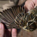 El 'escribano palustre', un ave que llevaba siete años sin aparecer, vuelve a las Lagunas de Villafranca