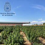 Más de 23 mil plantas de marihuana incautadas en dos macroplantaciones y un cultivo indoor de Illescas y Borox