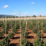 Seis detenidos por un cultivo de 12.000 plantas de marihuana en Sonseca que se suponía que era cáñamo legal